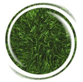Thujapflanze Warzentinktur